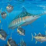 blauwe marlijn en geelvintonijnen