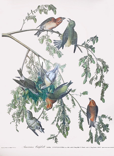 Crossbills Audubon plate restauration Jeroen Verhoeff 1